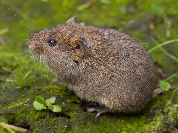 Vield vole (Microtus agrestis) - Stock Photo - Images