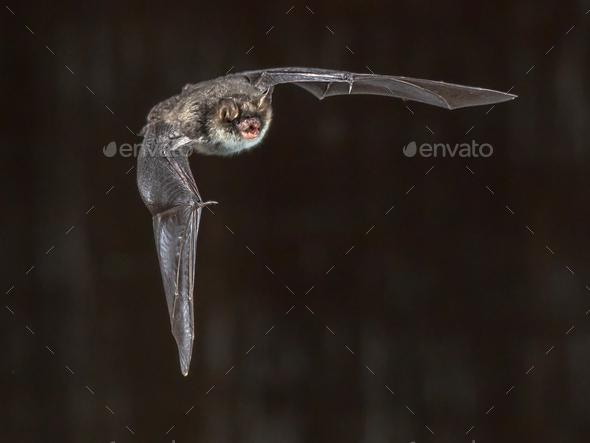 Flying natterers bat on grey background - Stock Photo - Images