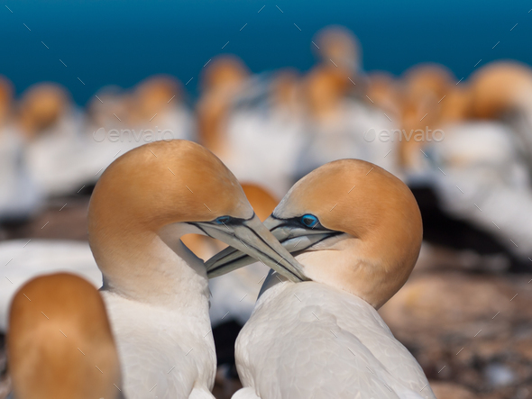 socializing gannets - Stock Photo - Images