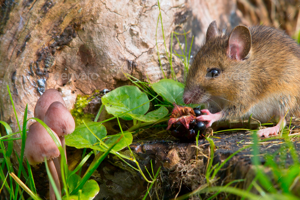 autemn scene mouse eating raspberry - Stock Photo - Images
