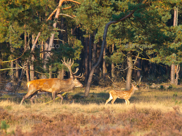 Male red deer (Cervus elaphus) with juvenile - Stock Photo - Images