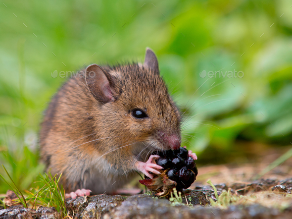 Wild mouse eating raspberry - Stock Photo - Images