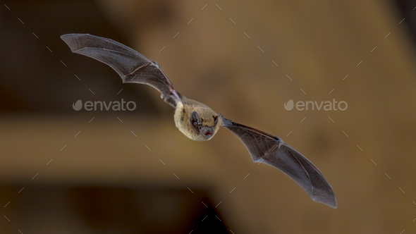 Flying Pipistrelle bat on wooden ceiling - Stock Photo - Images
