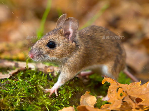 yellow necked mouse walking - Stock Photo - Images