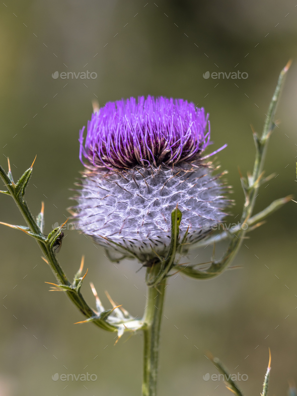 Purple flower of Wooly Thistle - Stock Photo - Images