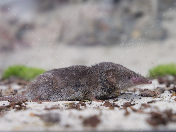 Greater white-toothed shrew (Crocidura russula) - Stock Photo - Images
