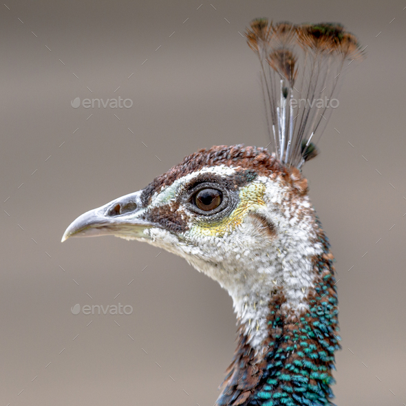 Female Peacock head shot - Stock Photo - Images