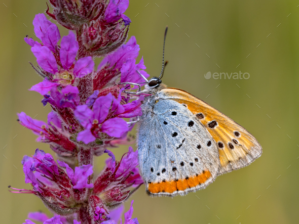 Large copper butterfly on purple flower - Stock Photo - Images