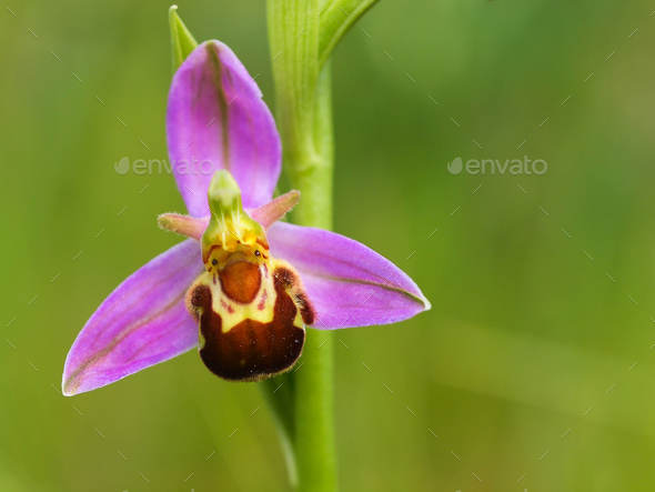 Macro image of Bee orchid - Stock Photo - Images