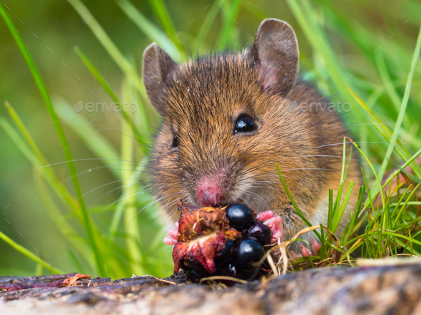 Wood mouse eating raspberry close up - Stock Photo - Images
