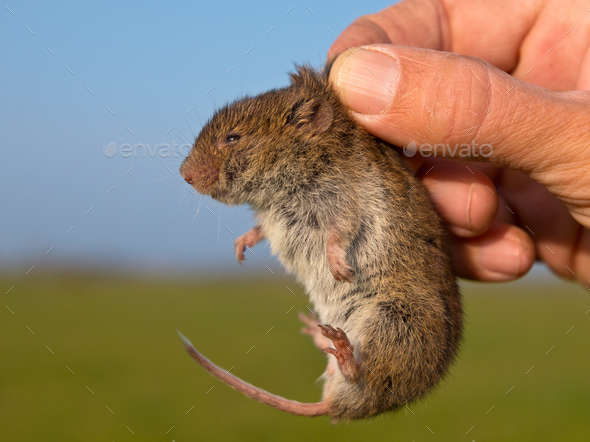Vield vole (Microtus agrestis) kept in hand by researcher - Stock Photo - Images