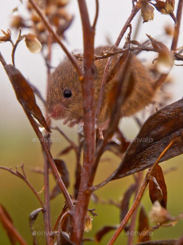 Harvest mouse peeking - Stock Photo - Images