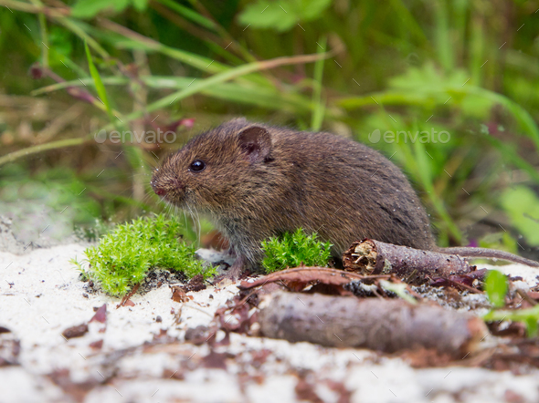 Common Vole (Microtus arvalis) in natural habitat - Stock Photo - Images