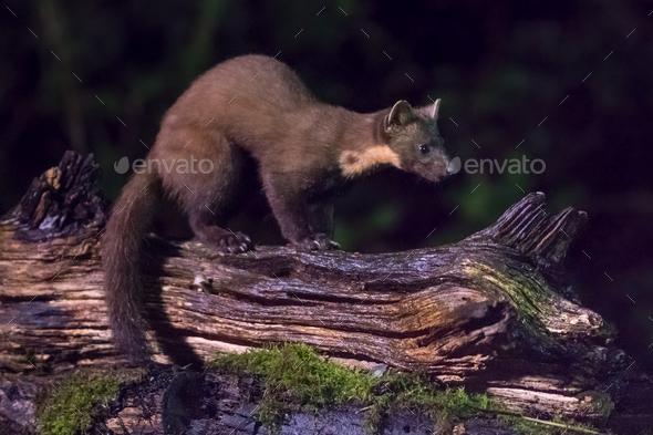 European pine marten at night - Stock Photo - Images
