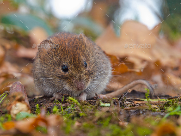 Bank vole hiding between the leaves - Stock Photo - Images