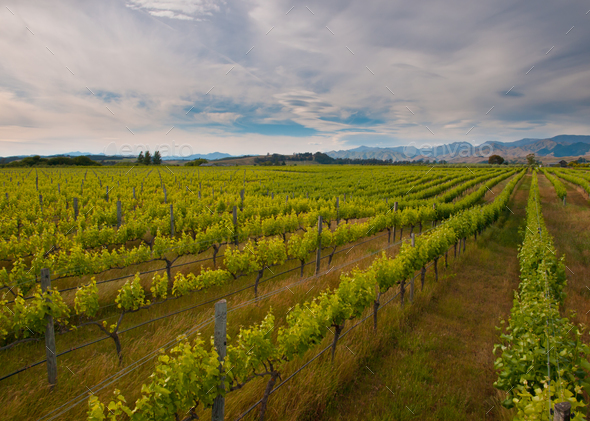 new zealand vineyard overview - Stock Photo - Images