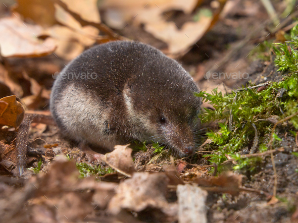 Crowned shrew - Stock Photo - Images