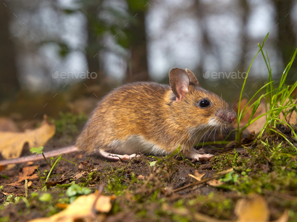 mouse in the forest - Stock Photo - Images