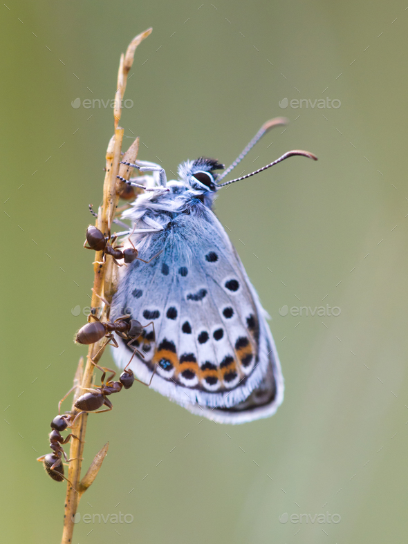 Silver Studded Blue Butterfly in symbiosis with red ant - Stock Photo - Images