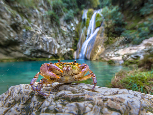 European freshwater crab in habitat - Stock Photo - Images