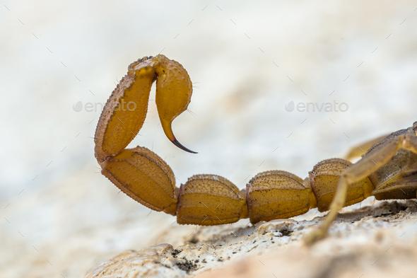 Scorpion sting - Stock Photo - Images