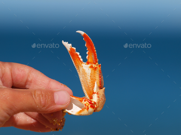 a crab claw with blue background - Stock Photo - Images
