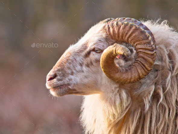 Male long-tailed sheep - Stock Photo - Images