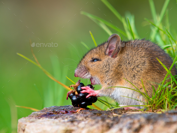 Wild mouse eating raspberry on log sideview - Stock Photo - Images