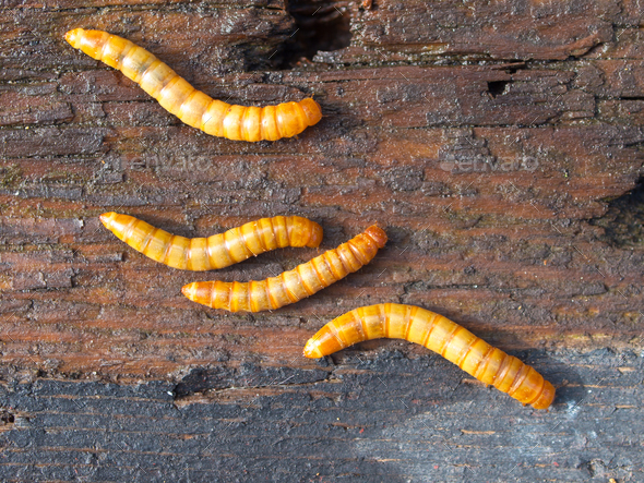 Four mealworms background detail - Stock Photo - Images