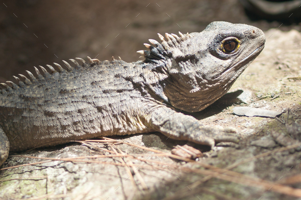 The Tuatara still lives in New Zealand - Stock Photo - Images