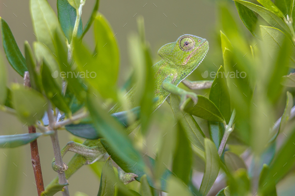 African chameleon climbing in tree habitat - Stock Photo - Images