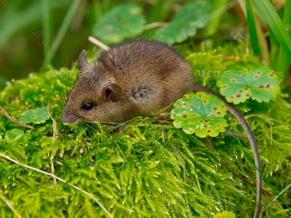 Wood mouse sitting in green moss - Stock Photo - Images