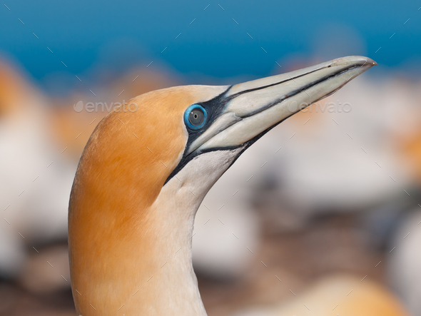 Close up of an australasian gannet - Stock Photo - Images