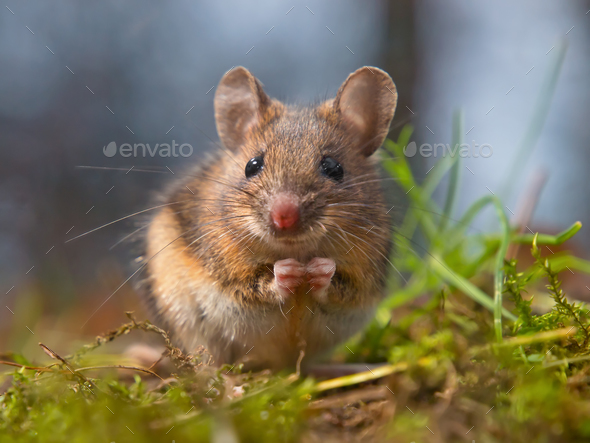 Wild mouse sitting on hind legs - Stock Photo - Images