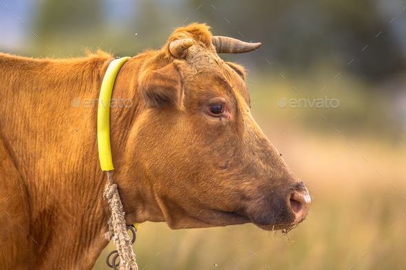 Brown cow headshot - Stock Photo - Images
