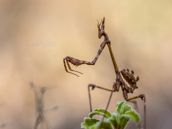 Conehead praying mantis - Stock Photo - Images