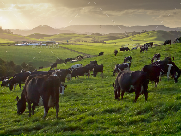 grazing cows in hilly countryside - Stock Photo - Images