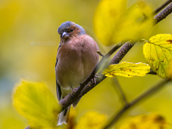 Chaffinch on autumn branch - Stock Photo - Images
