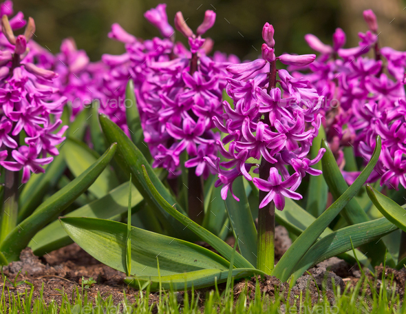 purple Hyacinth - Stock Photo - Images