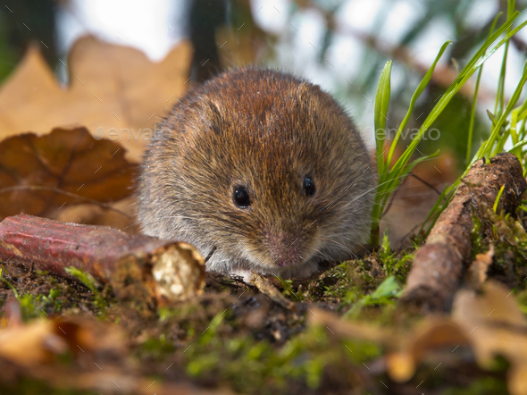 Bank vole sitting on forest floor - Stock Photo - Images