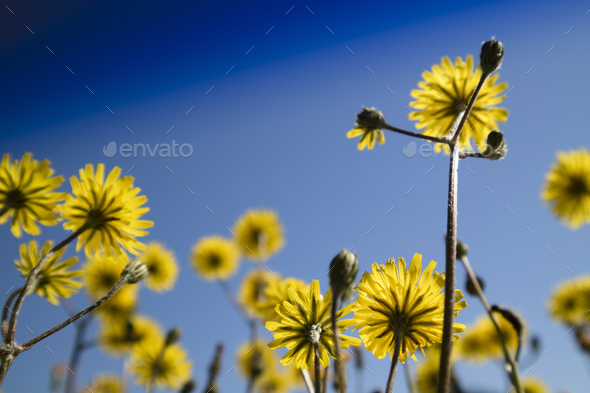 The yellow dandelion flower - Stock Photo - Images