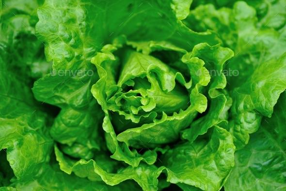 Fresh lettuce plant - Stock Photo - Images