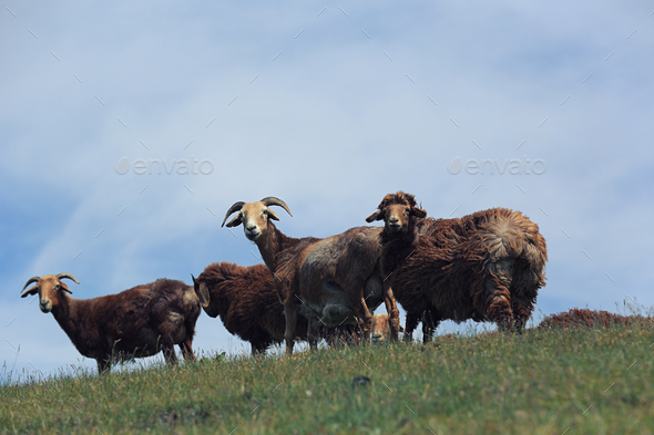 Sheep on mountain top looking at camera - Stock Photo - Images