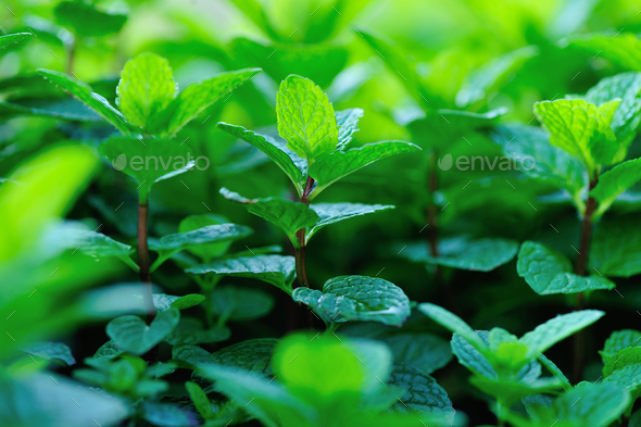 Mint crops - Stock Photo - Images