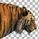 4K Tiger Walking Animation - VideoHive Item for Sale