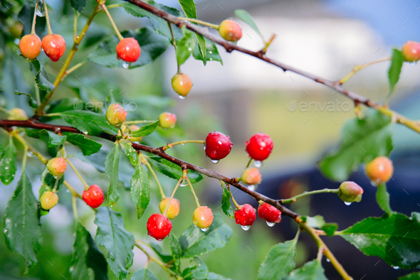 branch of cherries - Stock Photo - Images