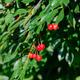 branch of cherries - PhotoDune Item for Sale