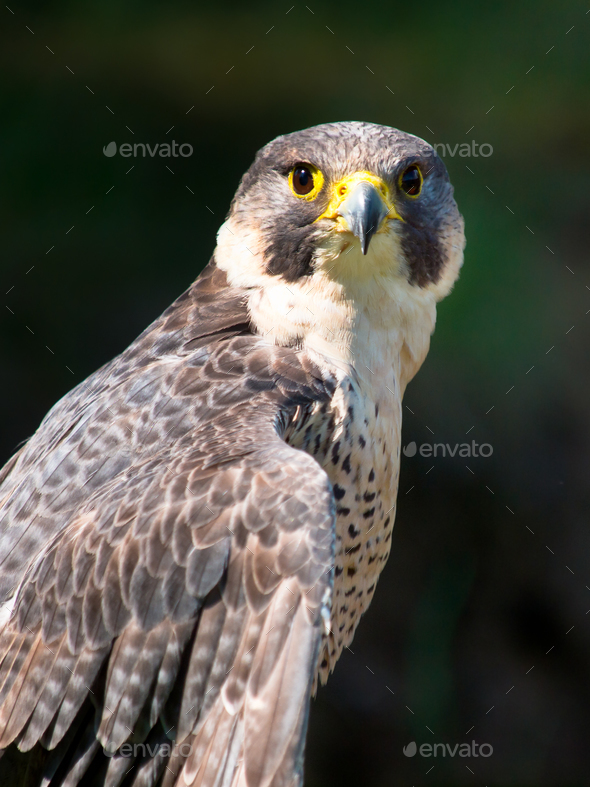 Peregrine Falcon Portrait - Stock Photo - Images