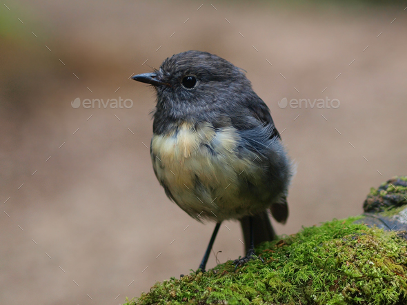New Zealand Robin - Stock Photo - Images