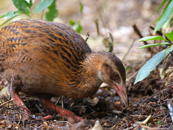 A Weka - Stock Photo - Images
